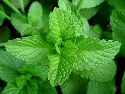 daun mint, daun berasa mint yang menghebohkan dunia