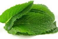 daun mint, daun berasa mint yang bermanfaat heboh